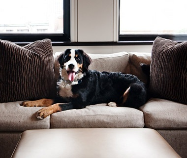 Our general manager's dog sitting on the couch in the Boston Common Studio Room