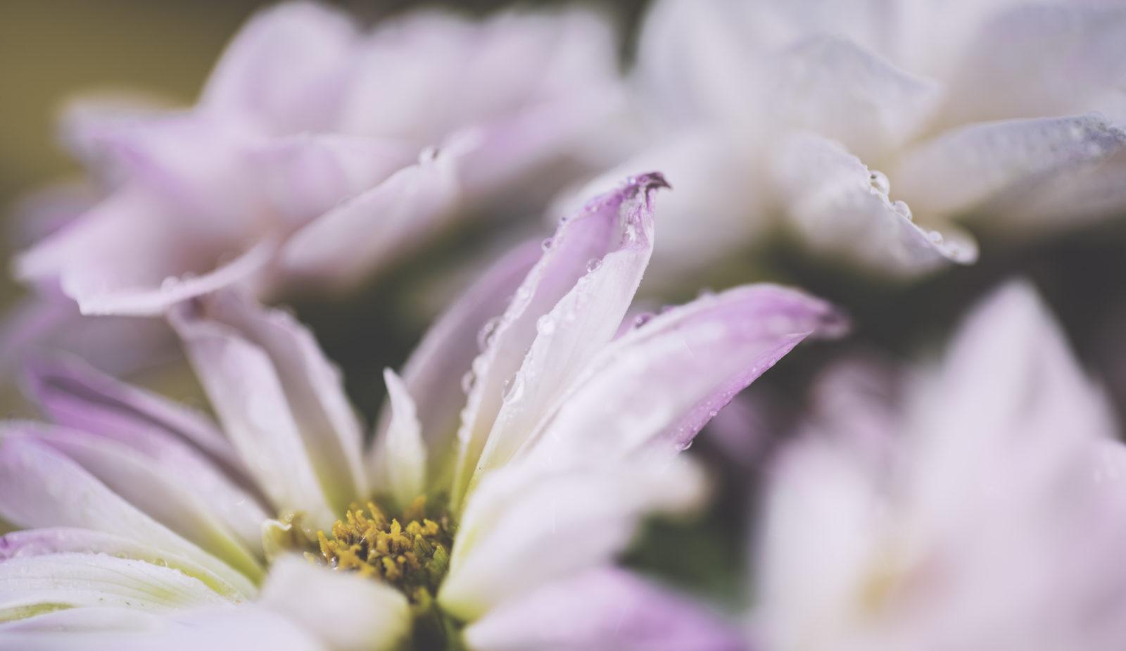 Dew drops on petals of pink flowers.